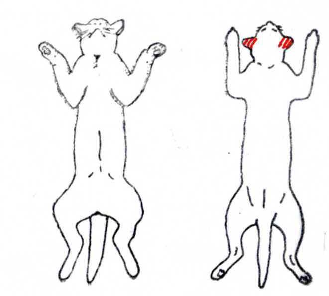 大明気功体験談:『毛根もだめになっていた犬や猫の脱毛が、アルコール+生姜液の塗布により発毛』10